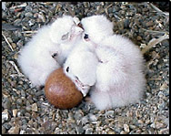 Falcon chicks